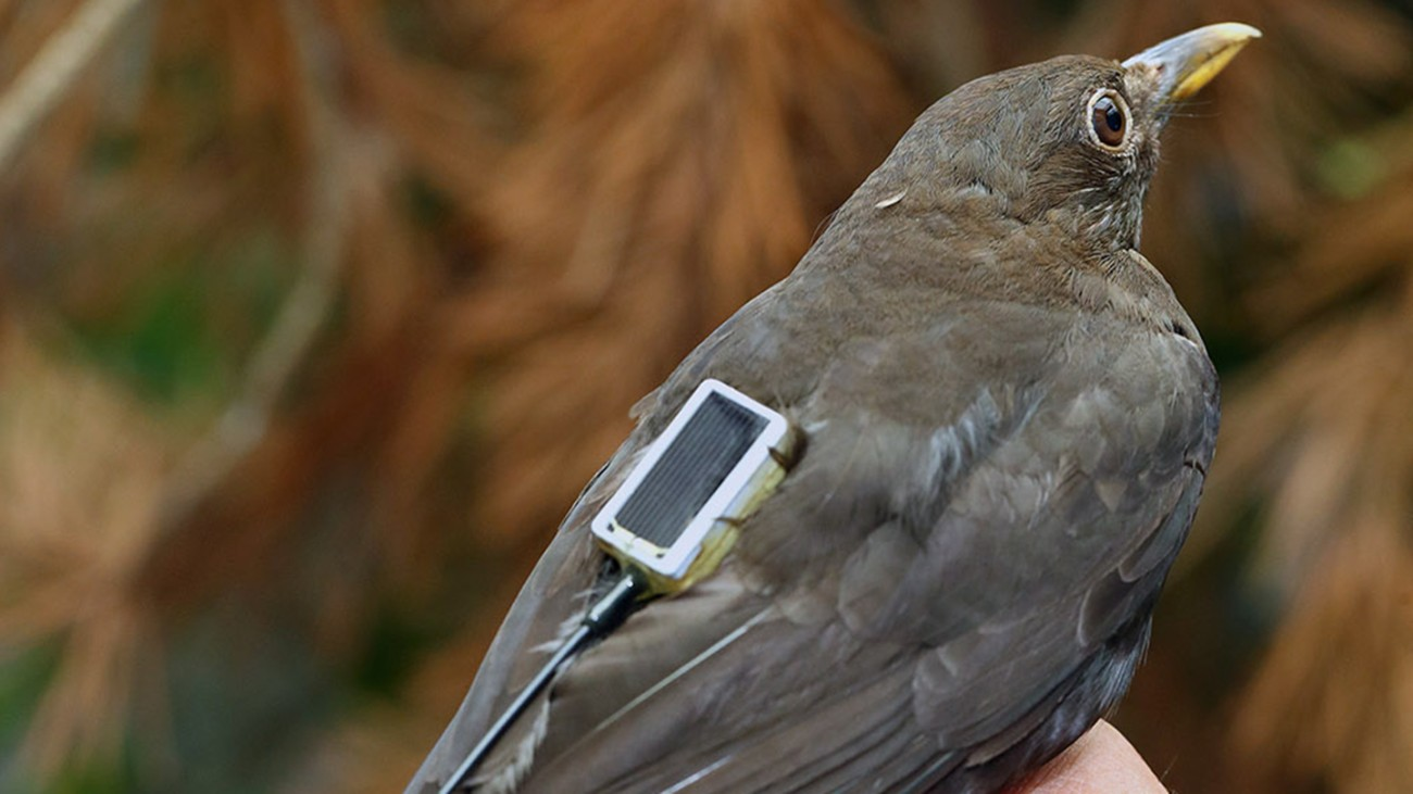 Blackbirds are among the animals the Max Planck Institute will observe with the aid of ICARUS.